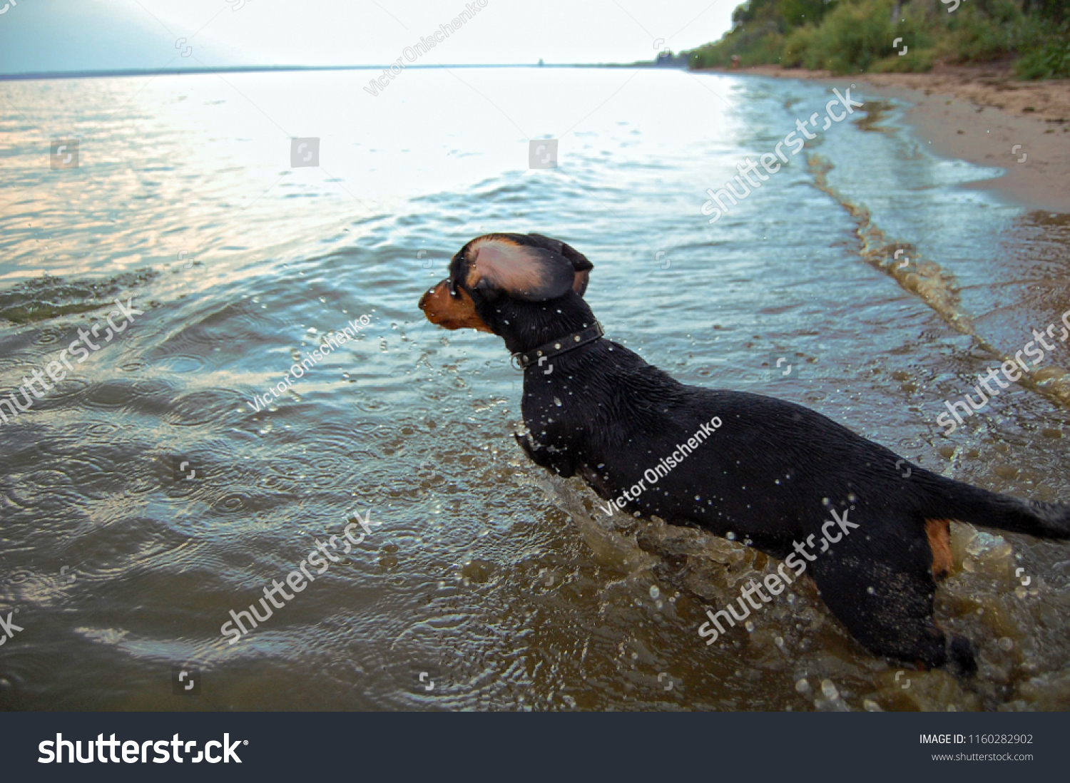 Funny Black Brown Dachshund Puppy Dog Stock Photo Edit Now 1160282902