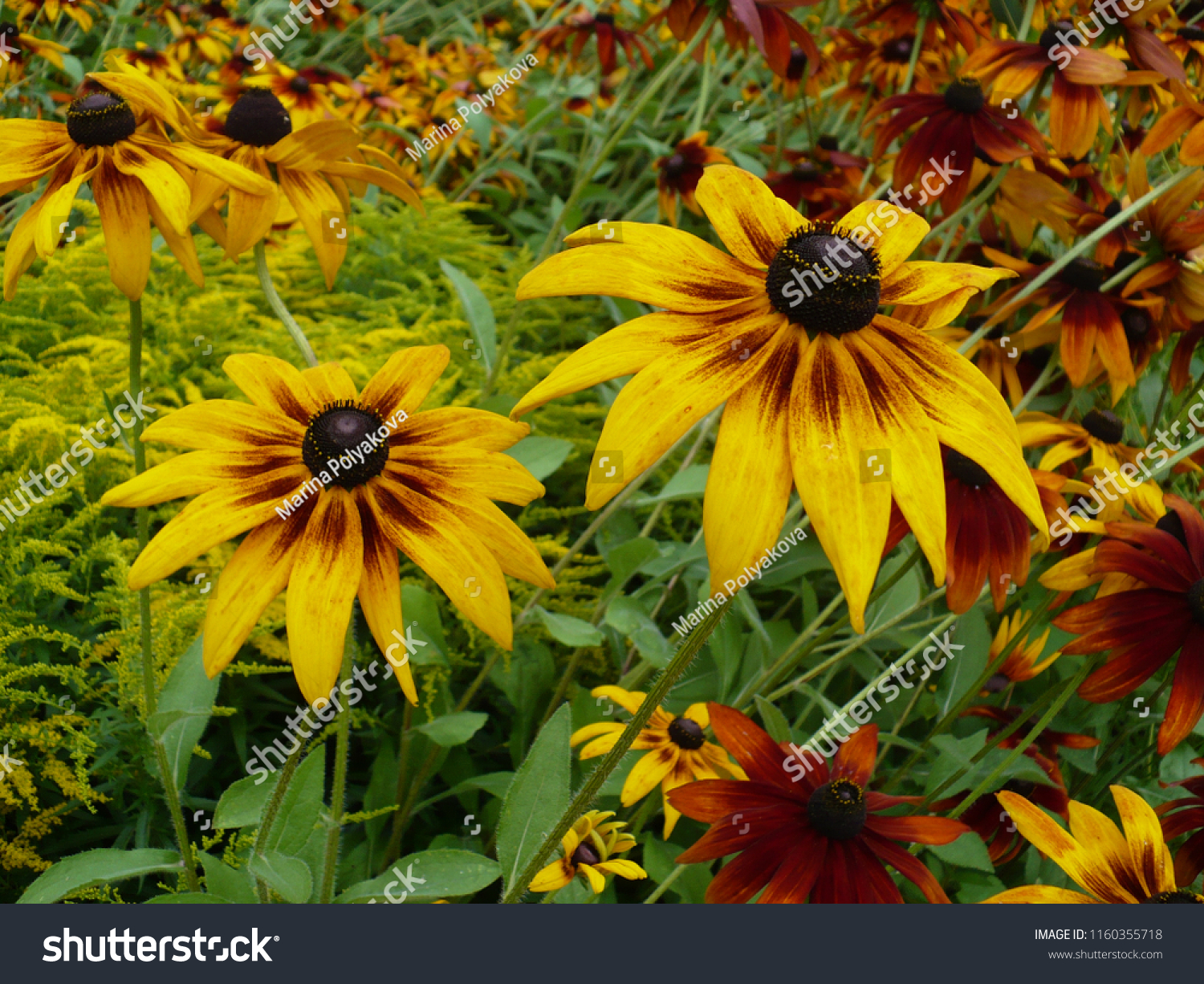 Black-eyed Susan in the garden #1160355718