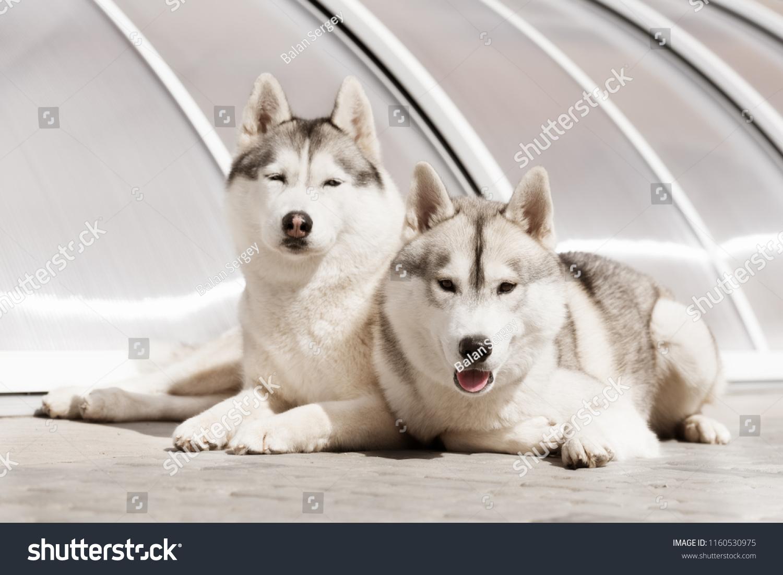 Portrait Two Lying Siberian Huskies Both Stock Photo Edit Now