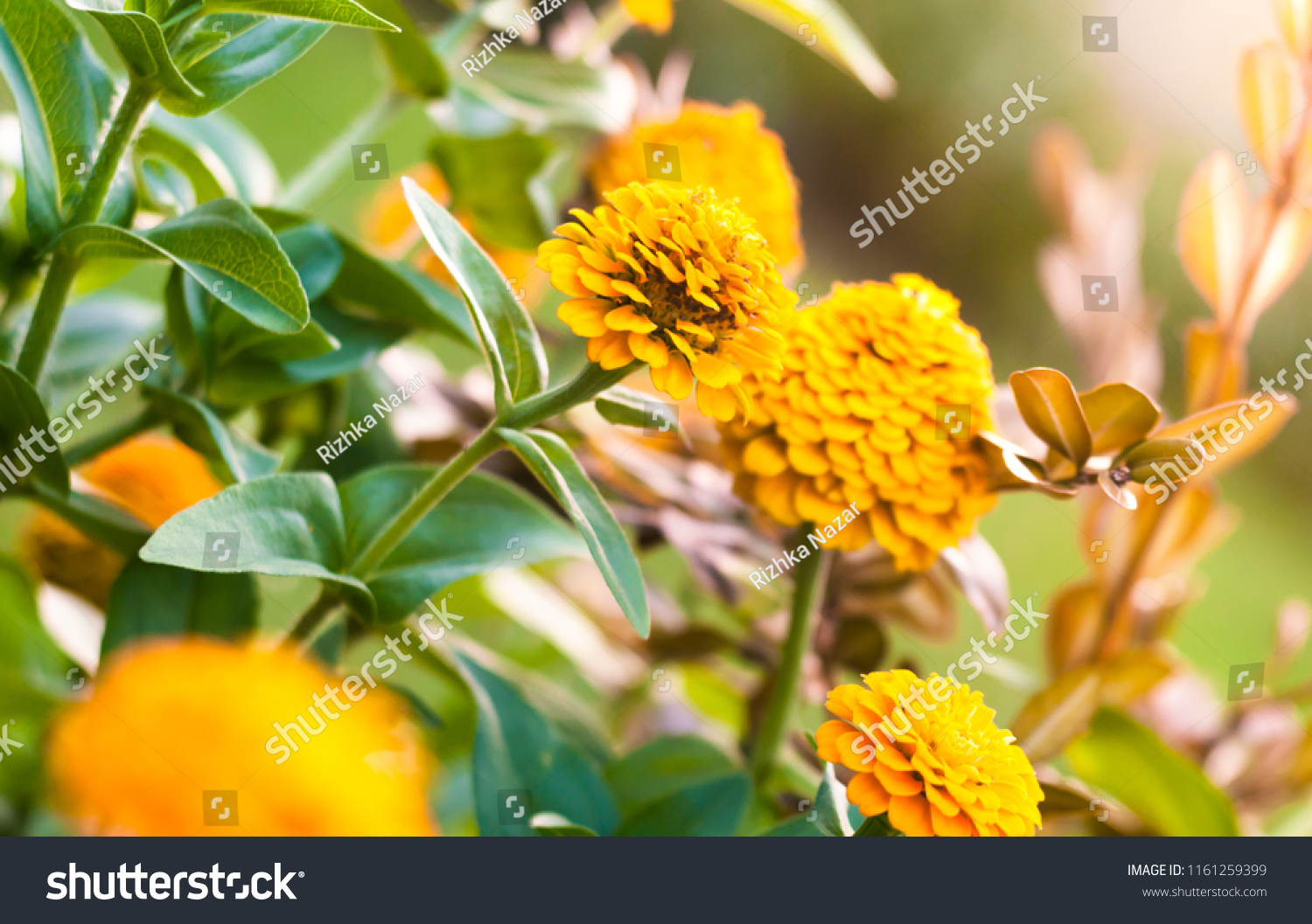 Beautiful yellow flowers beautiful blurry background stock photo beautiful yellow flowers with a beautiful blurry background the concept of natures beauty izmirmasajfo