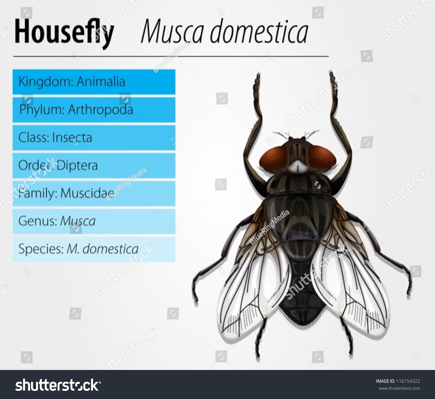 Common Housefly Musca Domestica Stock Vector (Royalty Free ...