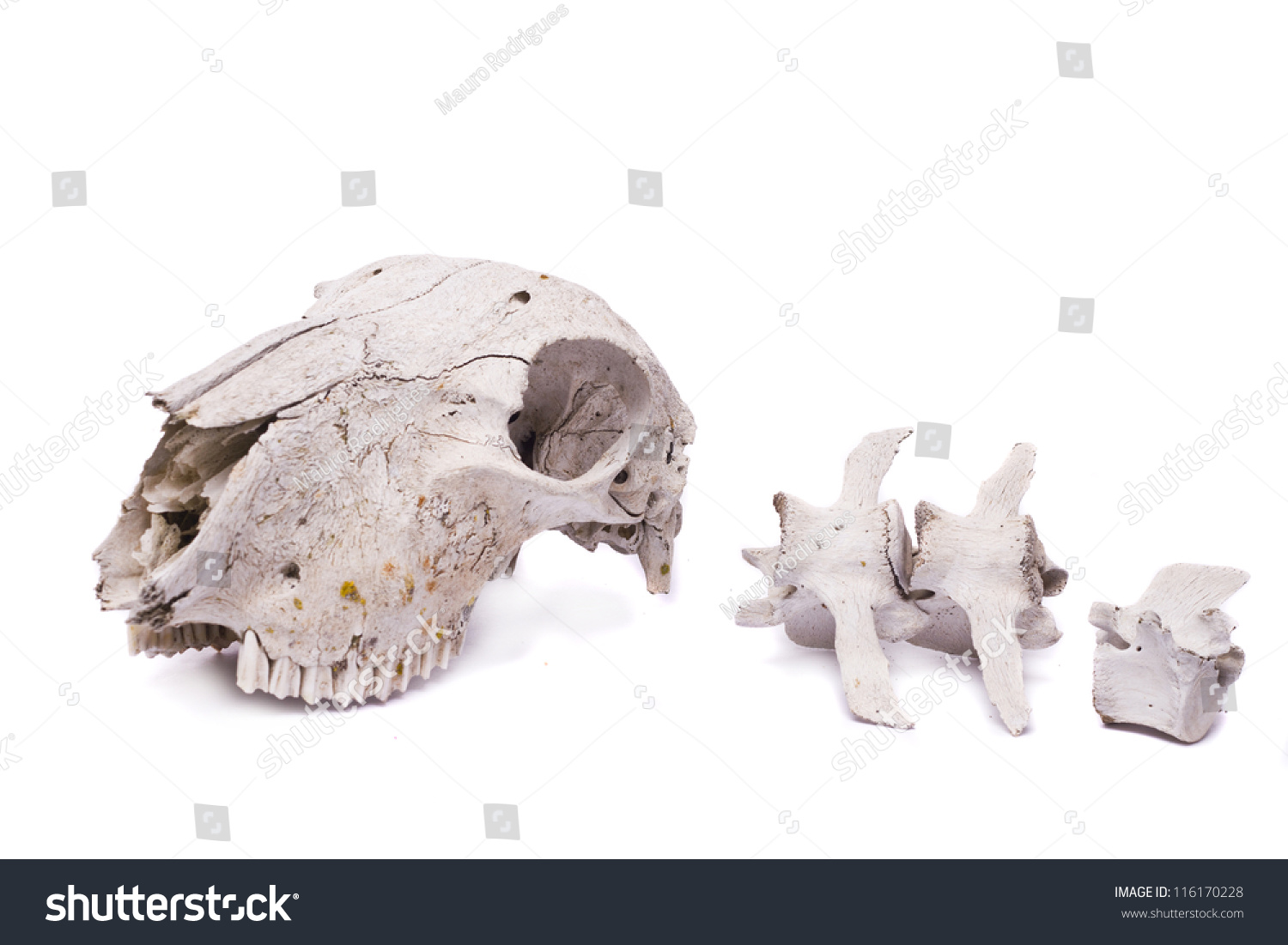 Close View Skull Sheep Isolated On Stock Photo (Safe to Use ...