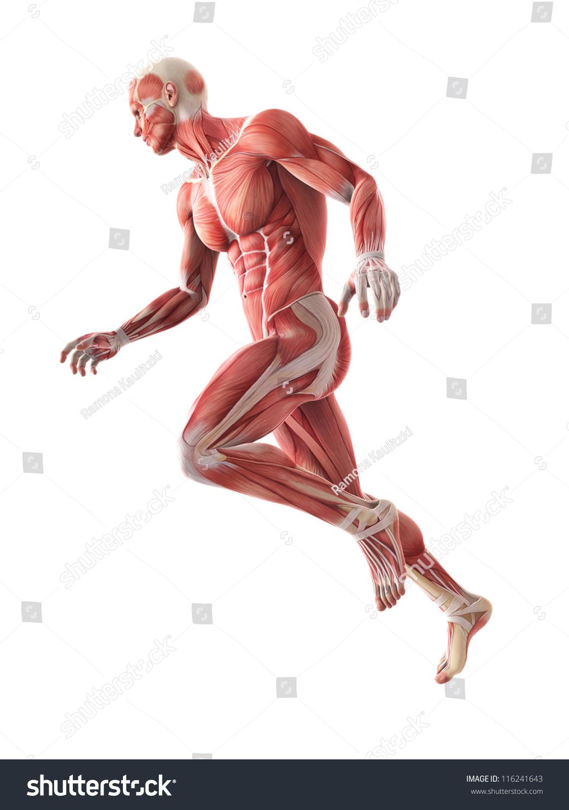 illustration human muscle anatomy stock illustration 116241643, Muscles