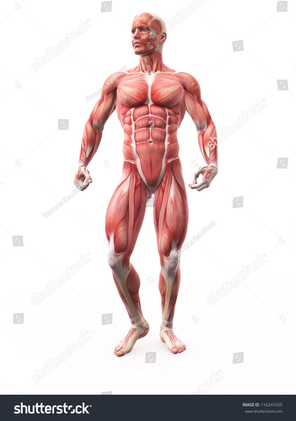 Bodybuilder muscles anatomy isolated | EZ Canvas