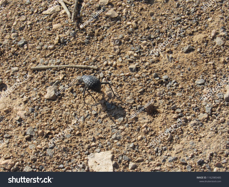 Dung Beetle Oman Mountain Stock Photo (Edit Now) 1162985485