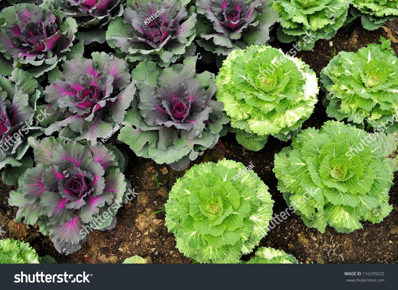Purple Cauliflower In The Vegetable Garden Top View