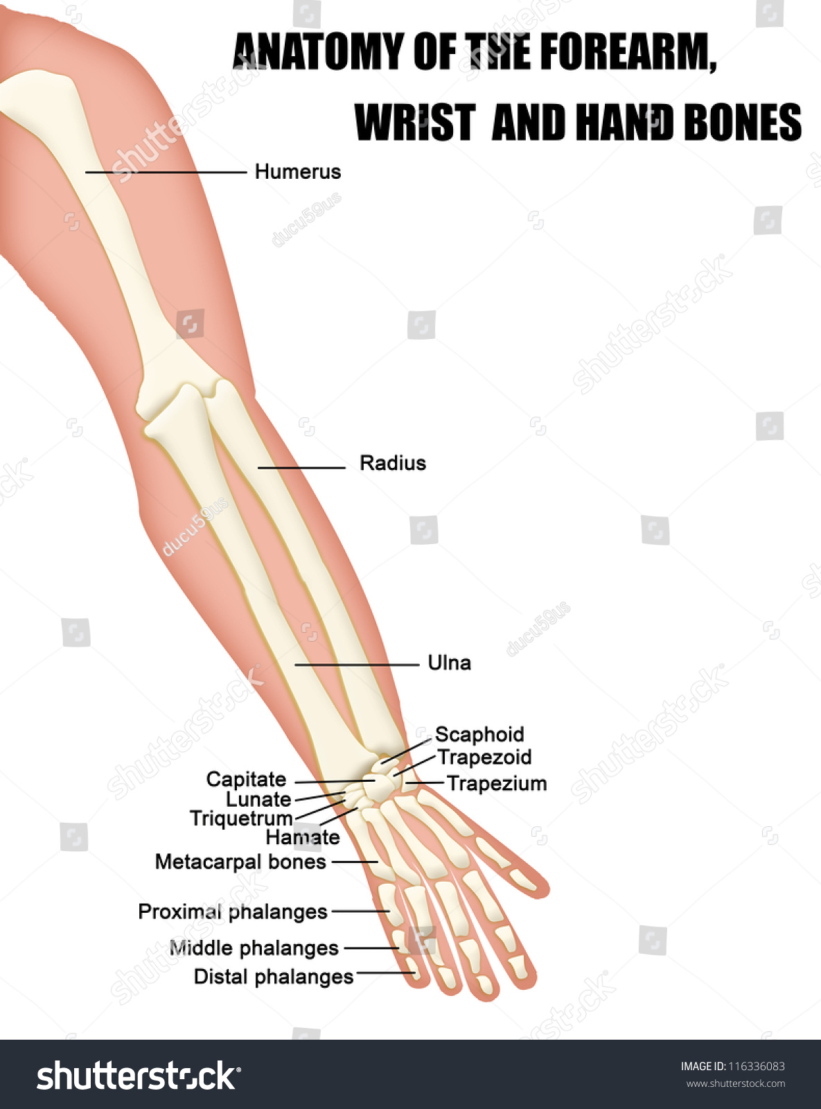 Anatomy Forearm Wrist Hand Bones Useful Stock Vector Royalty Free