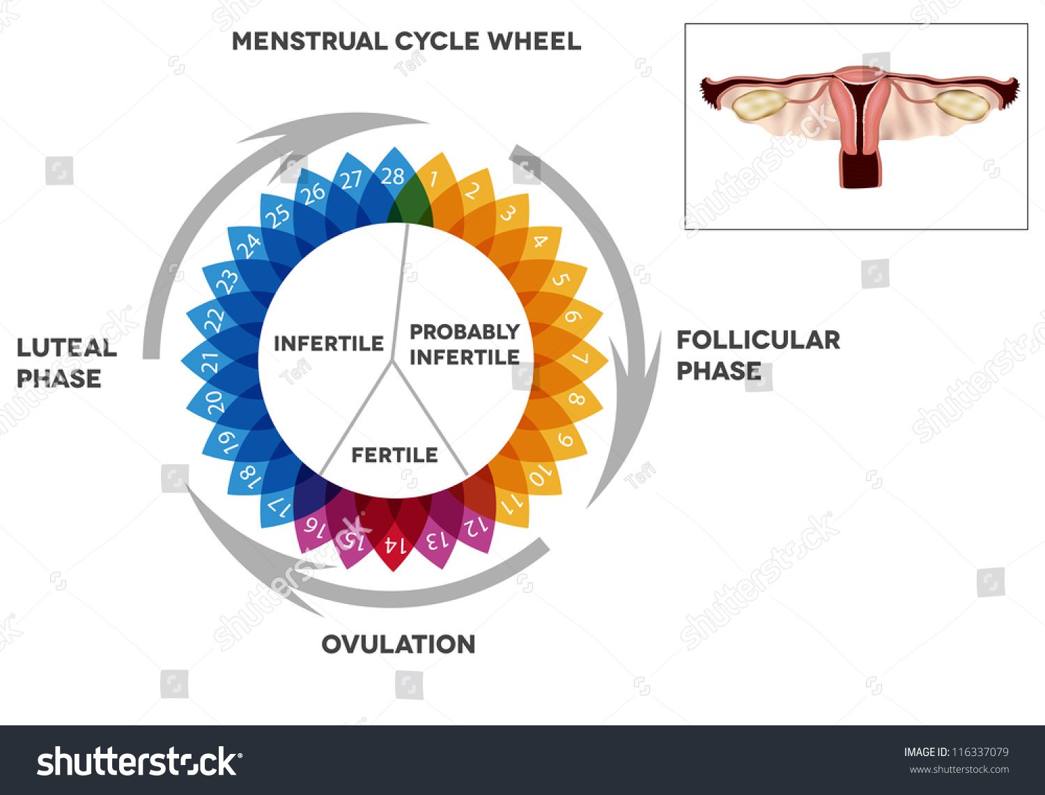 Menstrual cycle calendar detailed diagram female stock vector detailed diagram of female menstrual cycle period illustrated female reproductive organs pooptronica