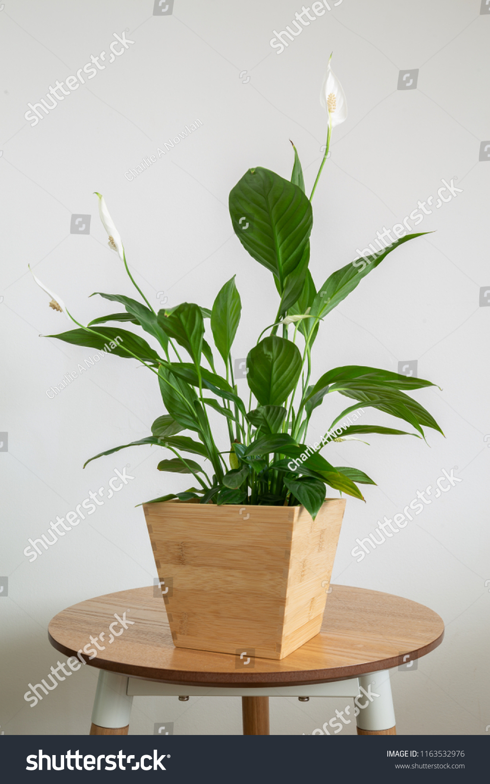 Peace lily house plant #1163532976