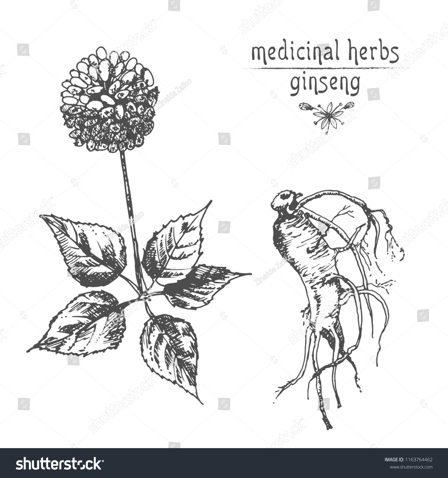 Realistic Botanical Ink Sketch Ginseng Root Stock Vector Royalty