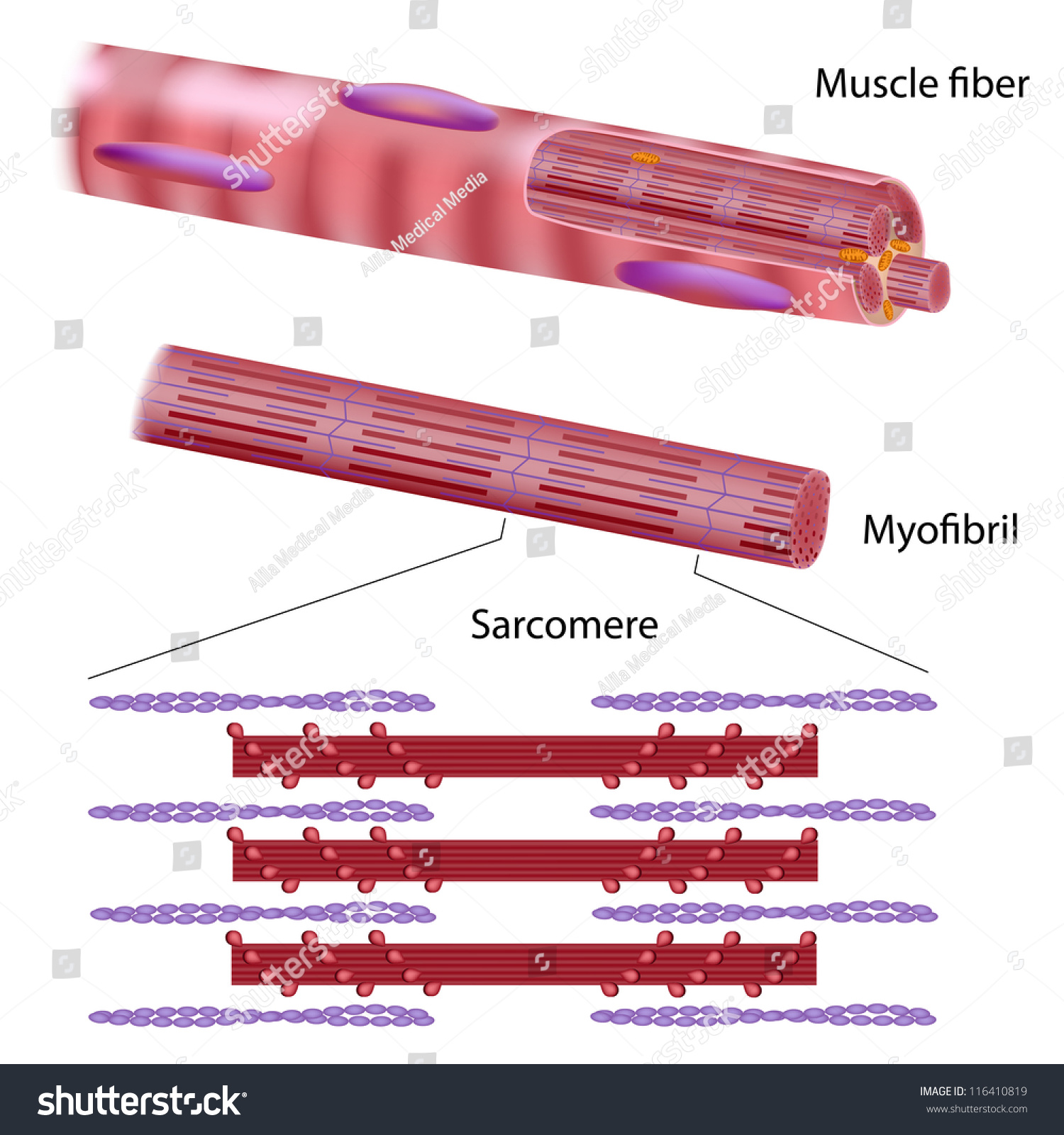 Structure Skeletal Muscle Fiber Stock Illustration 116410819