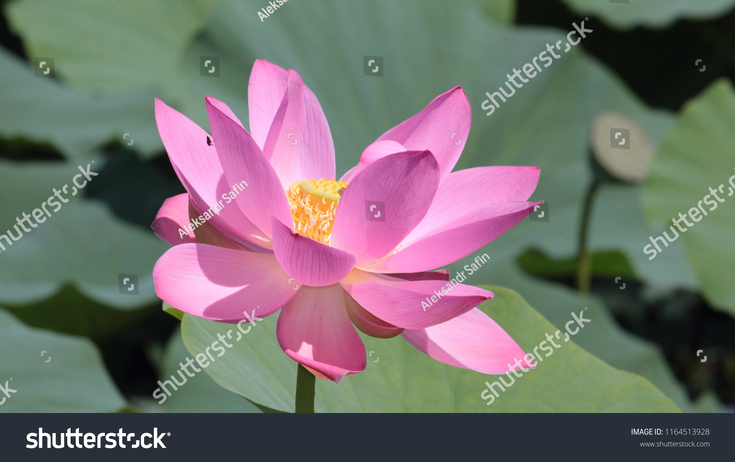 Close Up Lotus Blossom Waterlily Ez Canvas