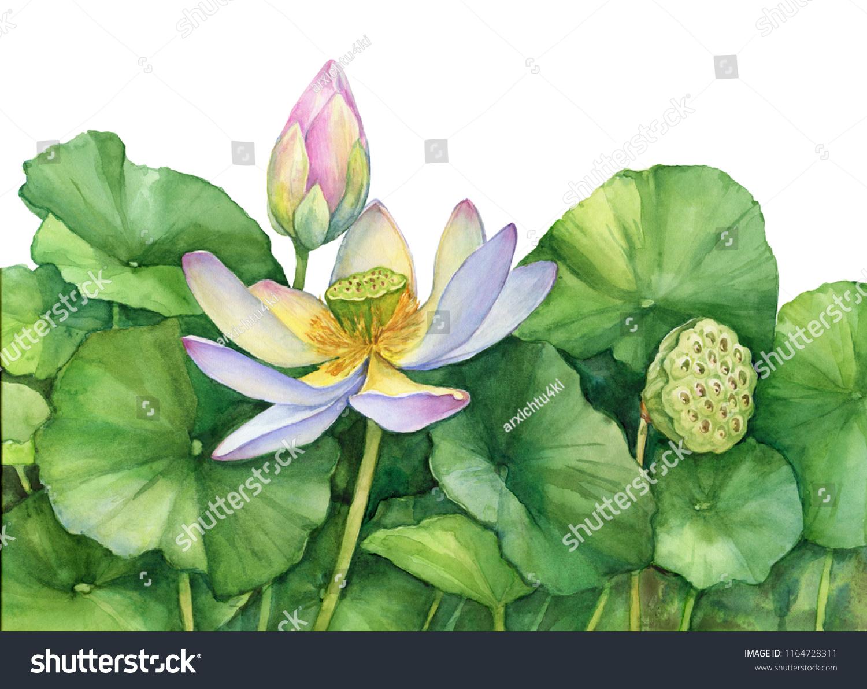 Poster Indian Sacred Lotus Flower Leaves Stock Illustration