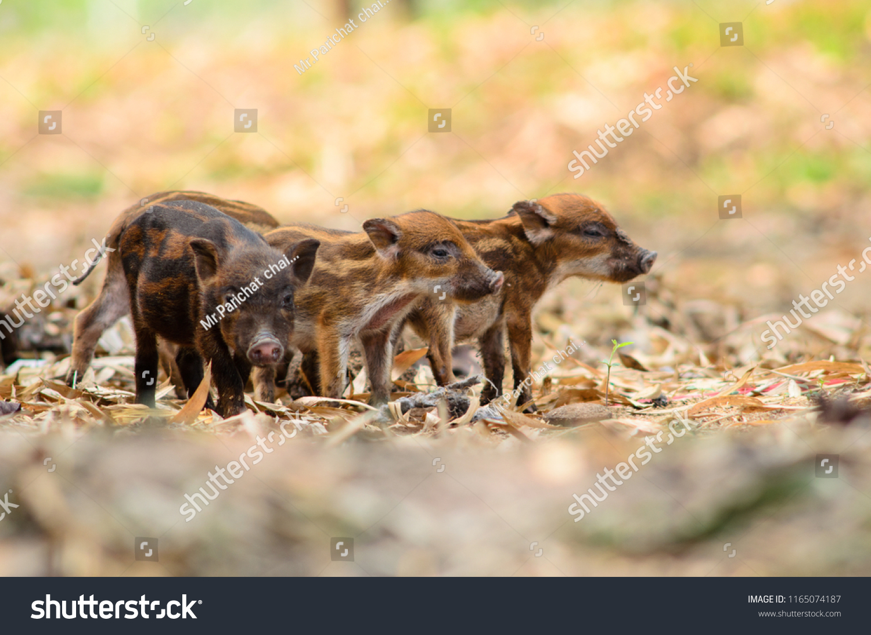 Wild Boar Little Pig Stock Photo (Edit Now) 1165074187