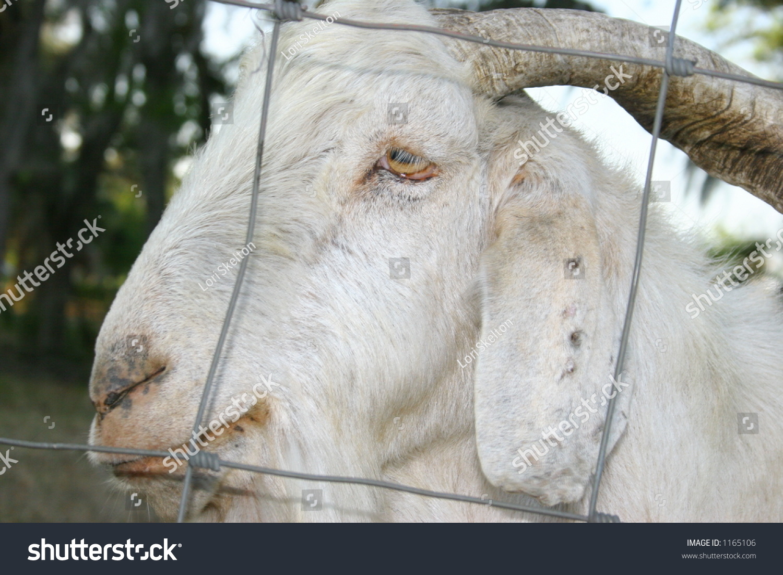 White Goat Through Wire Fence Stock Photo (Edit Now) 1165106 ...