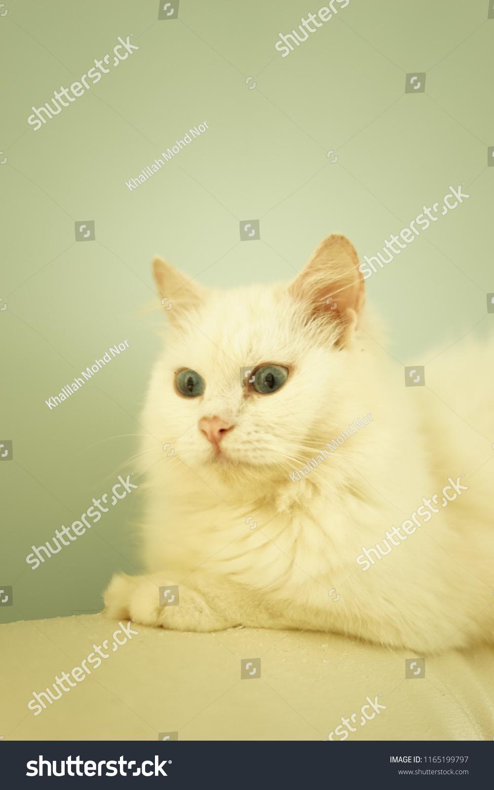 7442ac1090 Closeup White Turkish Angora Stock Photo (Edit Now) 1165199797 ...