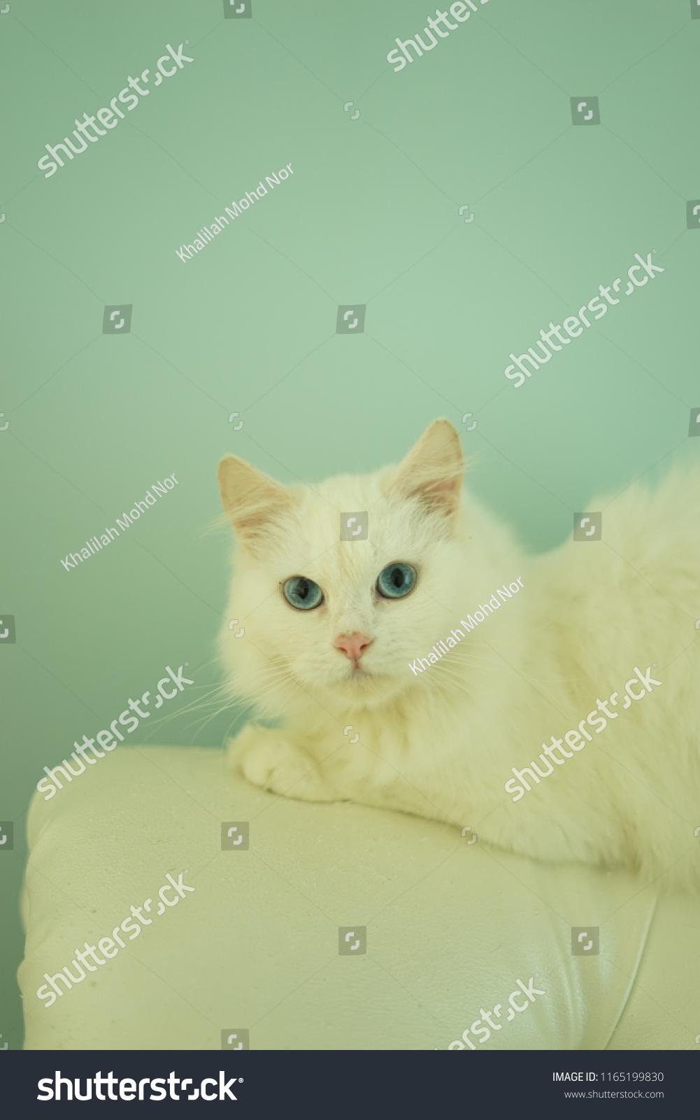 c55edfbc55 Closeup White Turkish Angora Stock Photo (Edit Now) 1165199830 ...