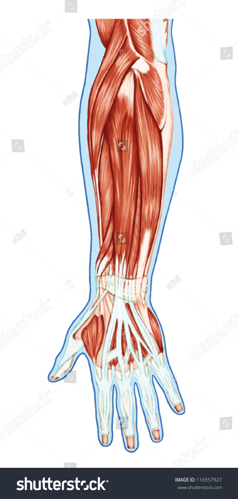 Anatomy Muscular System Hand Forearm Palm Stock Vector 116557927 ...