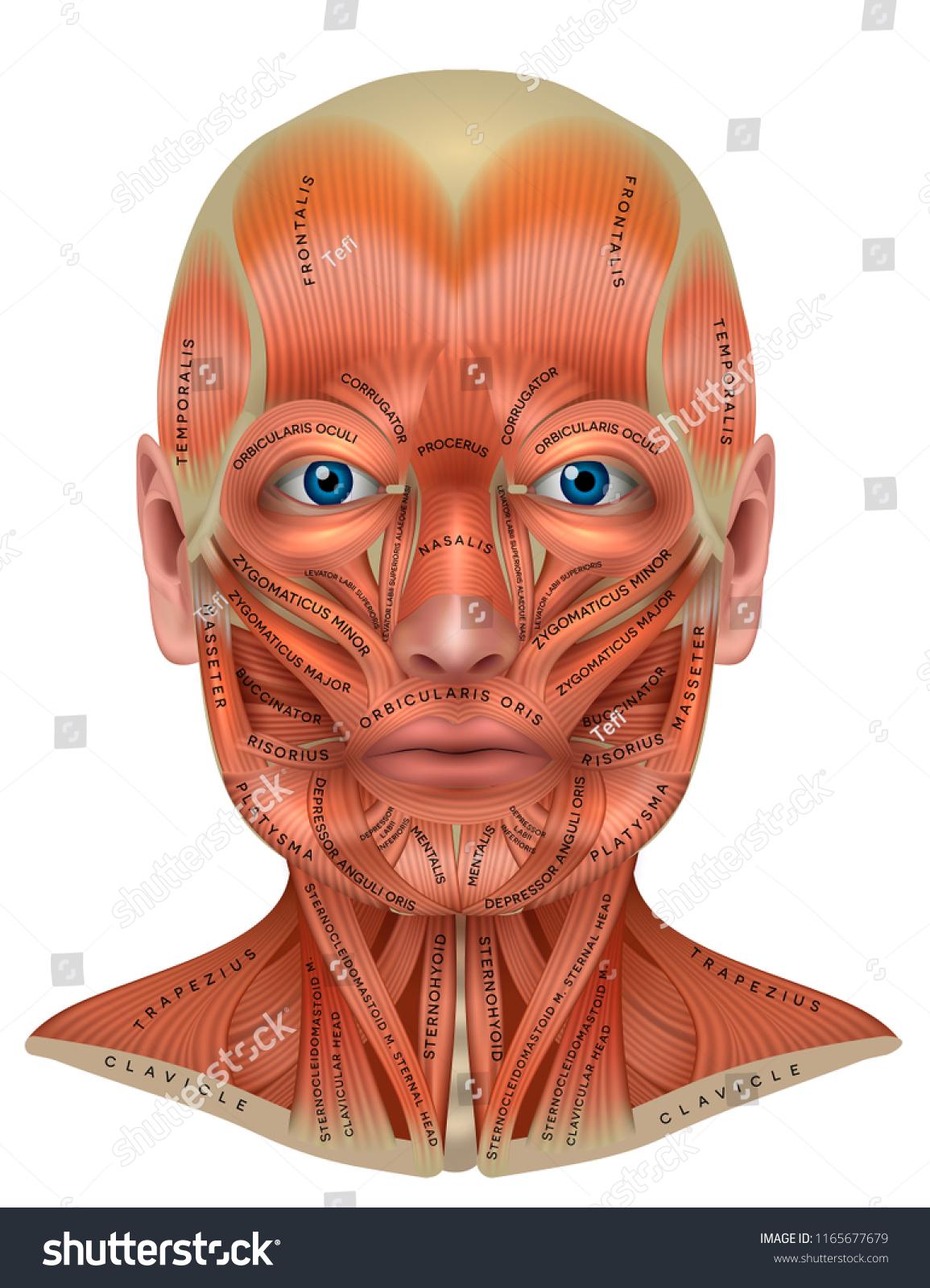 Face Neck Muscles Detailed Colorful Anatomy Stock Vektorgrafik