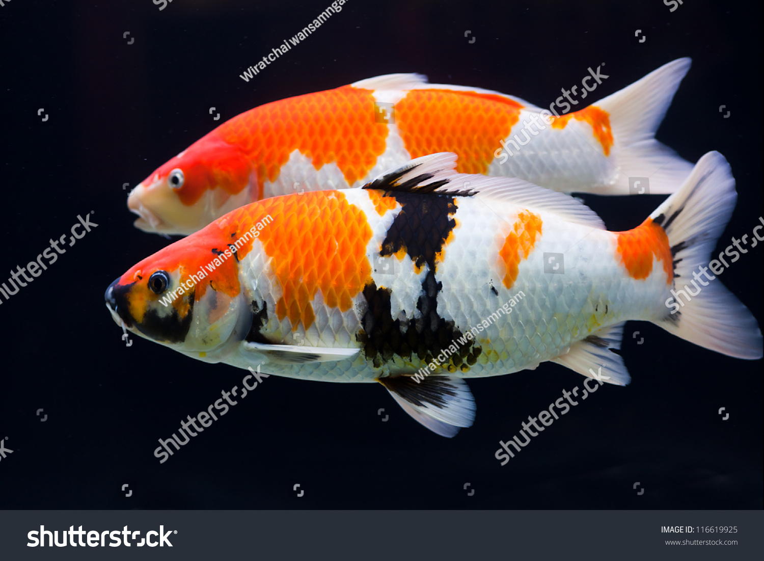 Beautiful koi carp swimming in a pond stock photo for Pool koi aquatics ltd