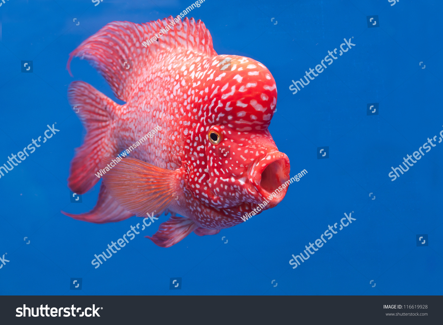 aquarium fish flower horn fish on stock photo (royalty free