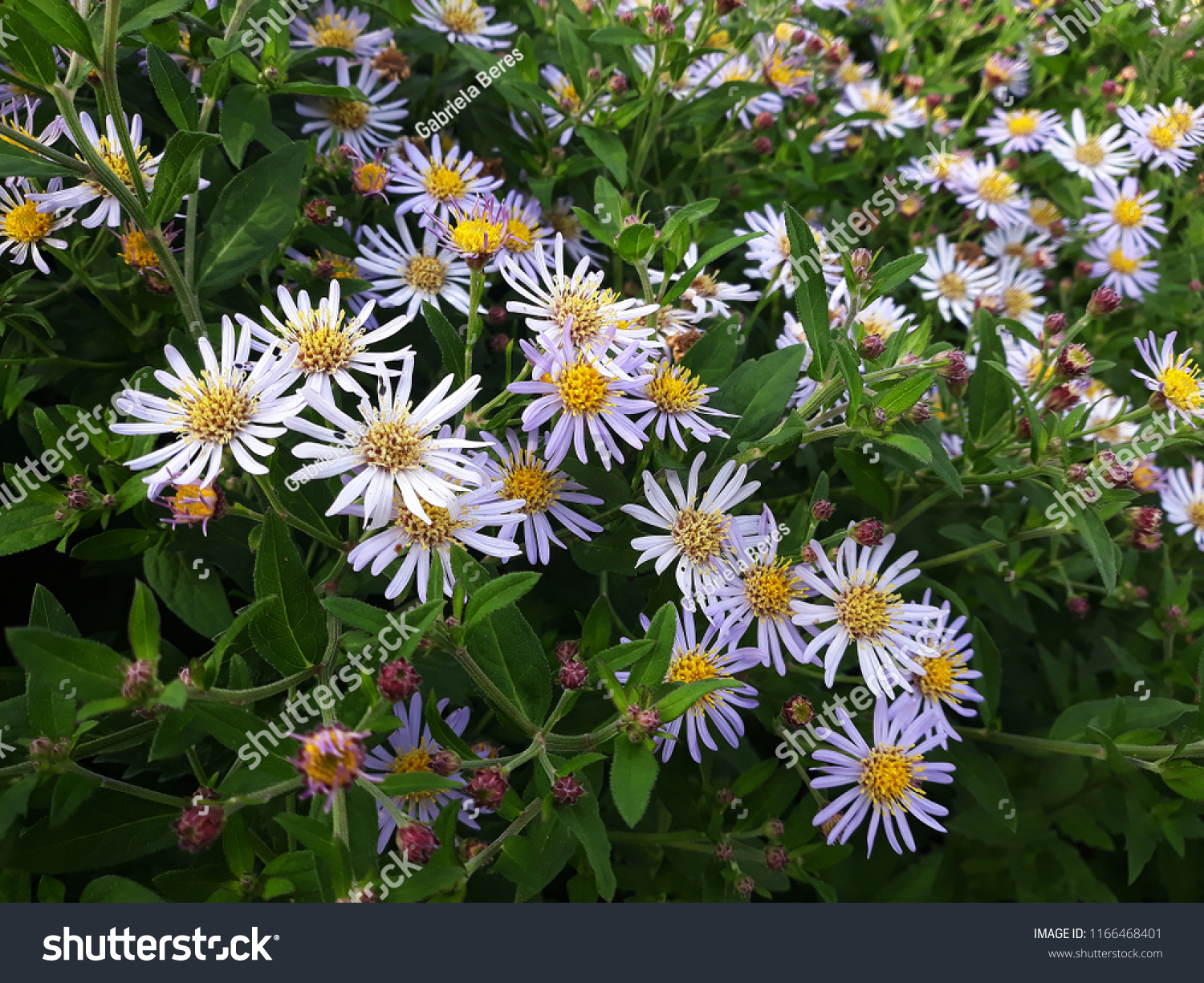White Flowers Symphyotrichum Species Hairy Aster Stock Photo Edit