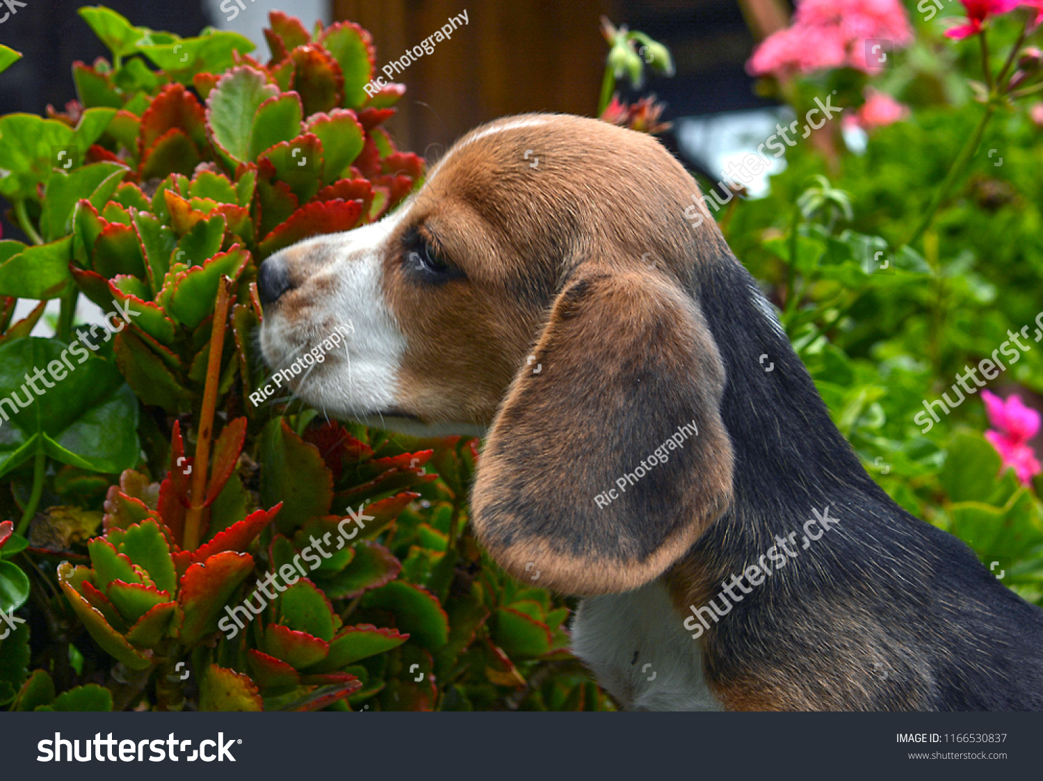 Very Nice Profile Face Beagle Sniffing Animals Wildlife Stock Image 1166530837