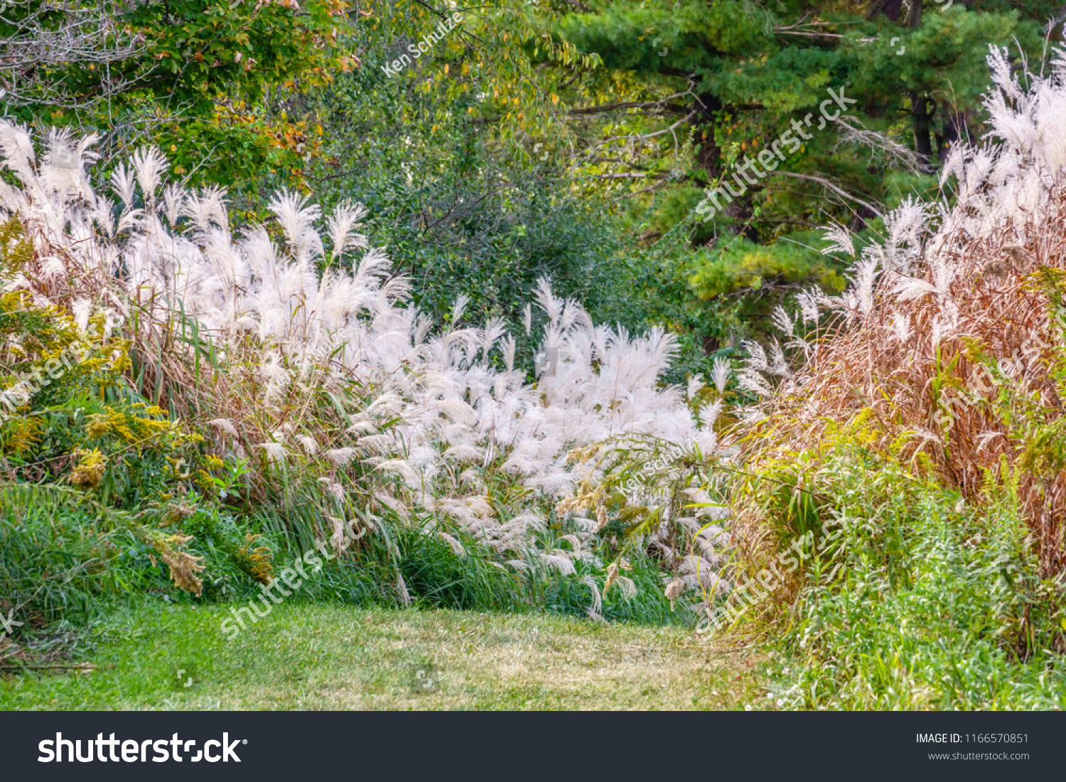 Tall Stands Silver Grass Possible Binomial Stock Photo Edit Now 1166570851