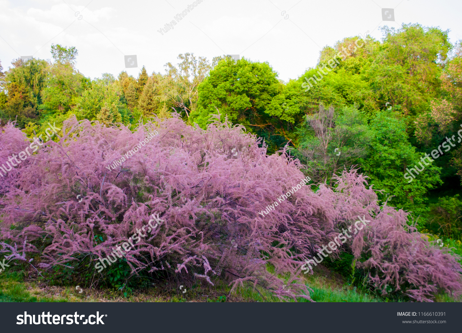 Blooming Spring Colorful Landscape Big Pink Stock Photo Edit Now