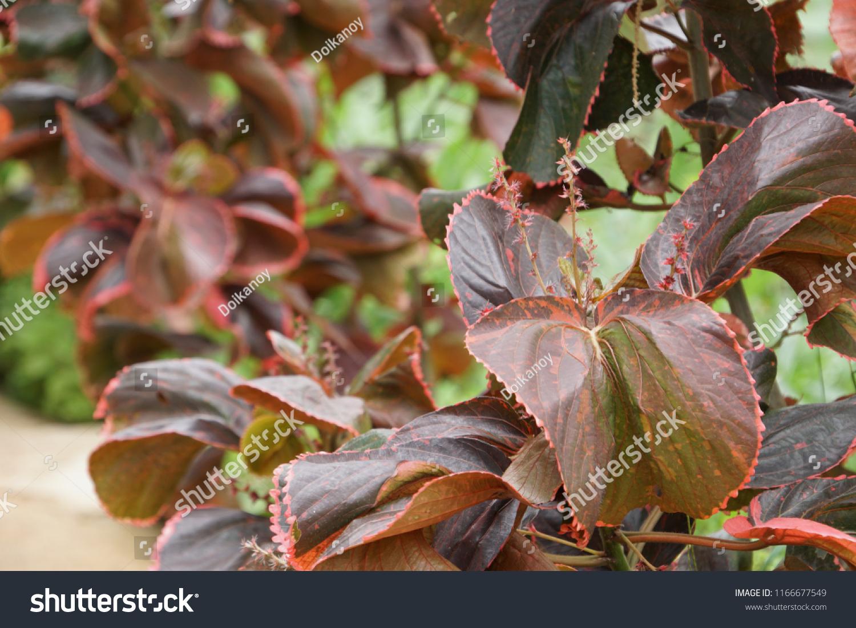 Copper Leaf Acalypha Wilkesiana Copperleaf Coat Stock Photo Edit