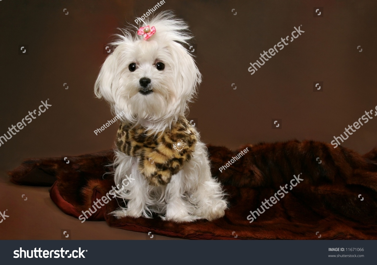 Maltese Dog On Brown Background Copy Stock Photo Edit Now 11671066