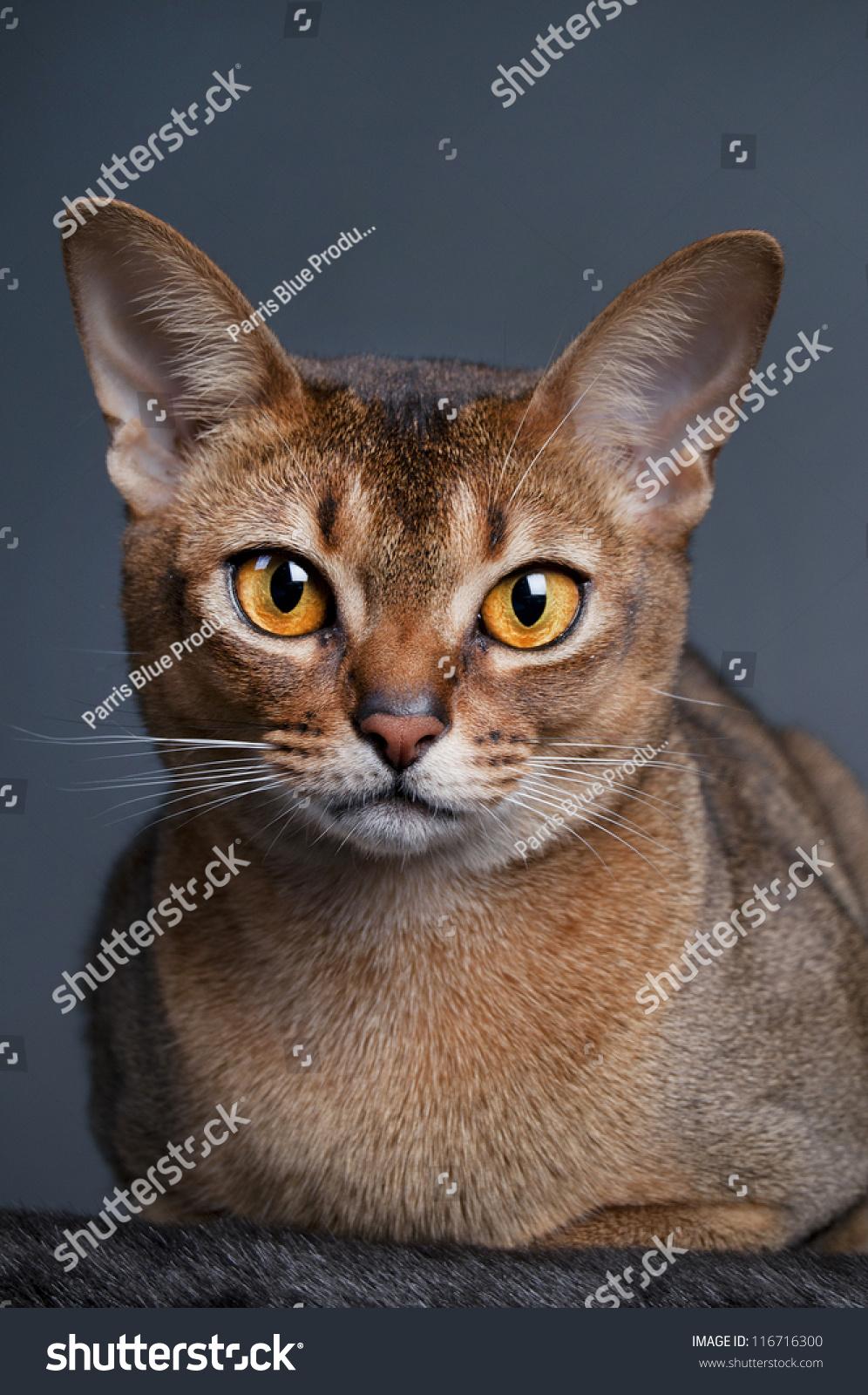 Abyssinian Cat Blue Eyes
