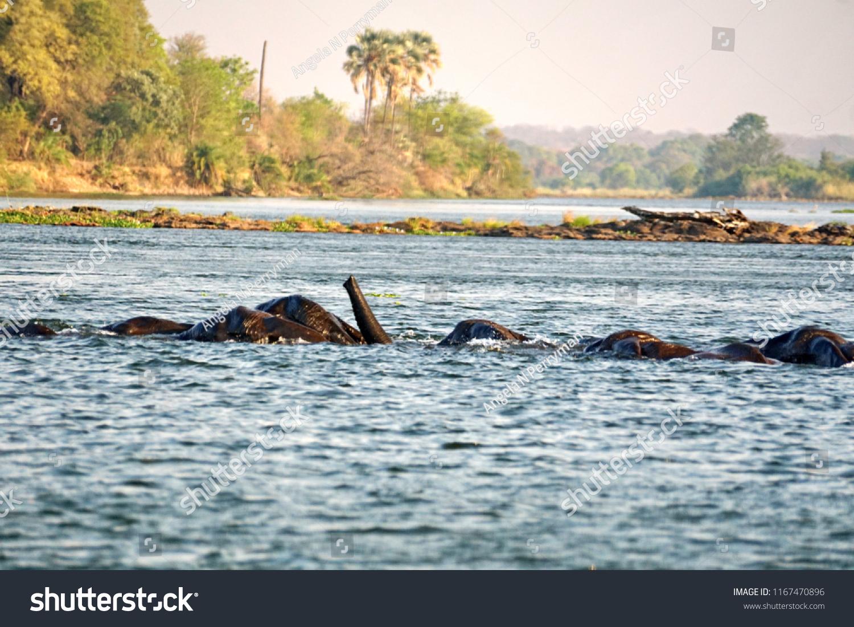 Elephants Having Sex Zambezi River Above Royalty Free Stock Image