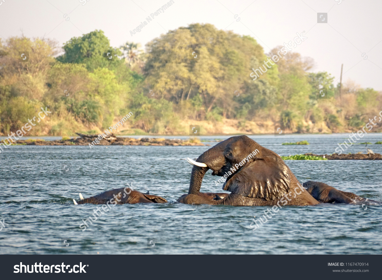 Elephants Having Sex Zambezi River Above Stock Photo Edit Now