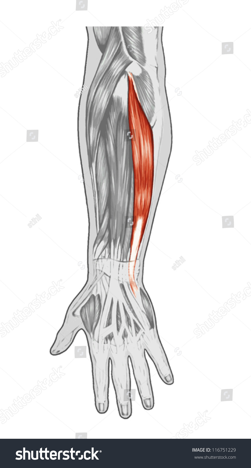Anatomy Muscular System Hand Forearm Palm Stock Vector (2018 ...