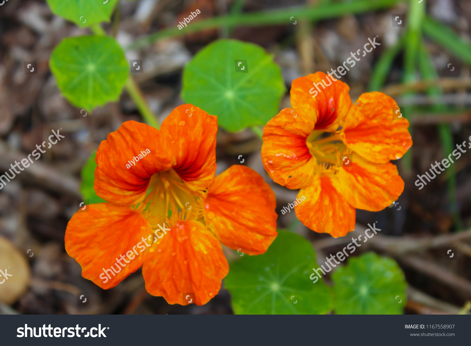 Pretty Orange Red Yellow Flowers Common Stock Photo Edit Now