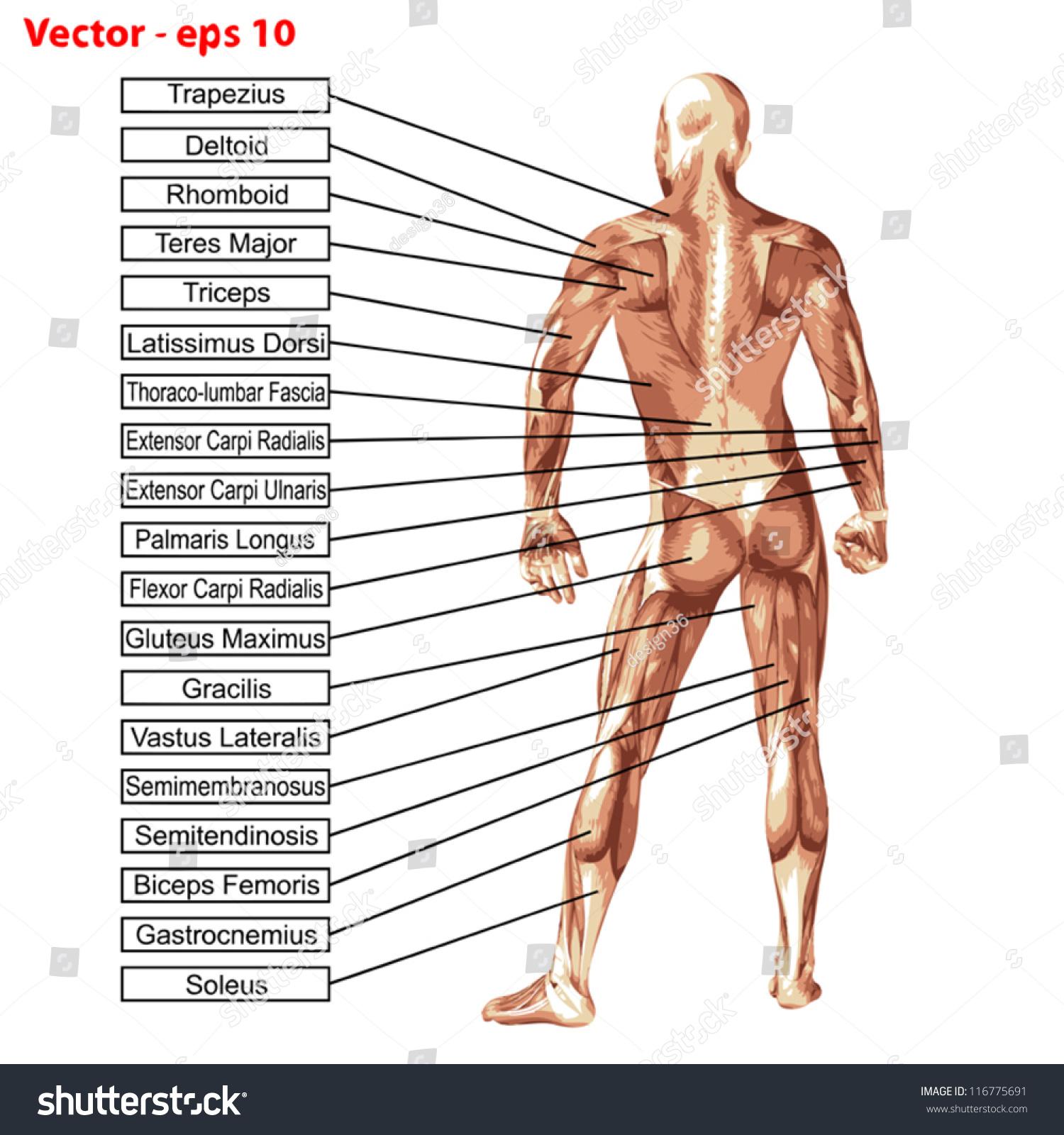 Vector Concept Or Conceptual Human Or Man 3d Anatomy Body