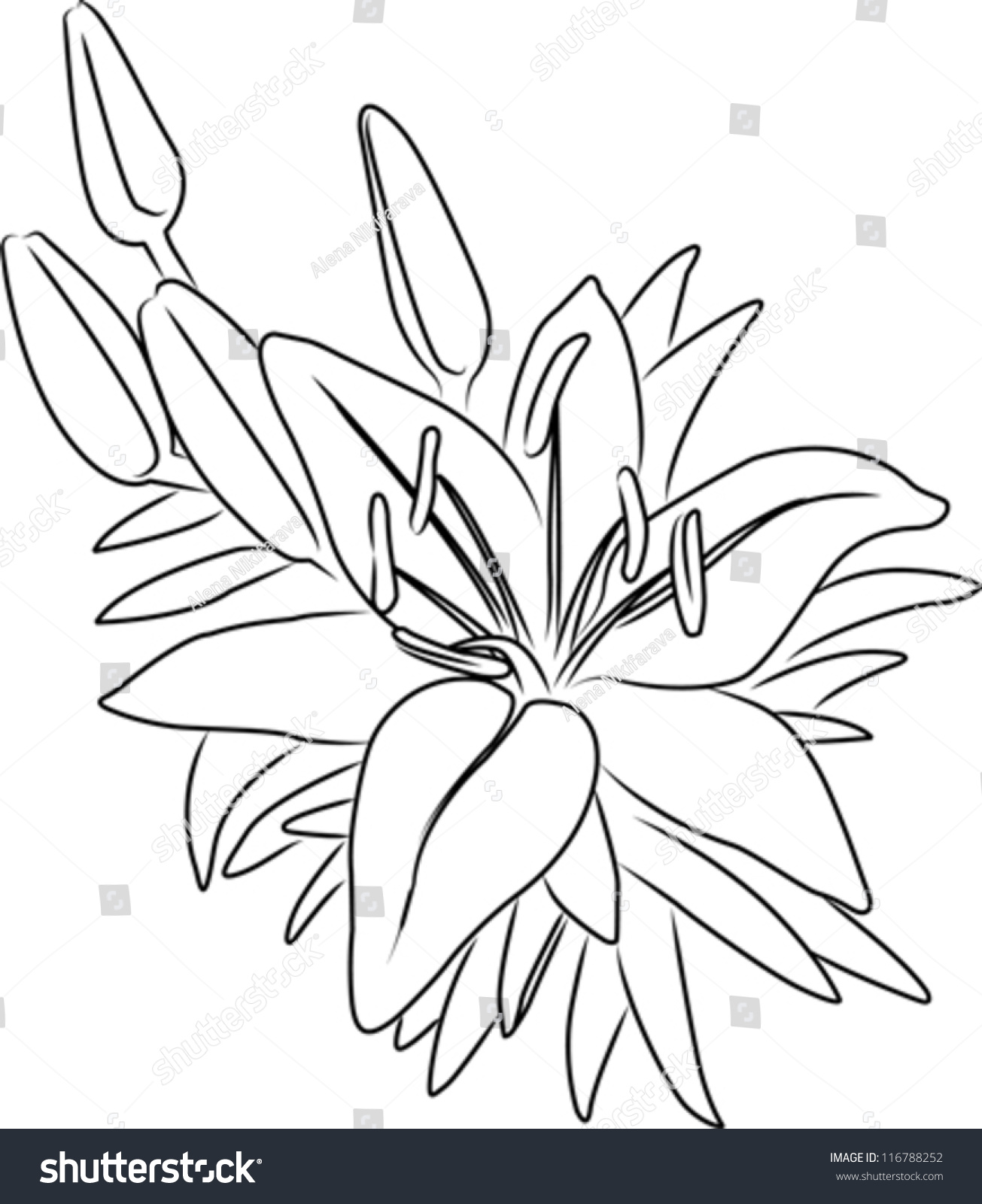 Blooming Asiatic Lily Flower Bouquet Buds Stock Vector 116788252