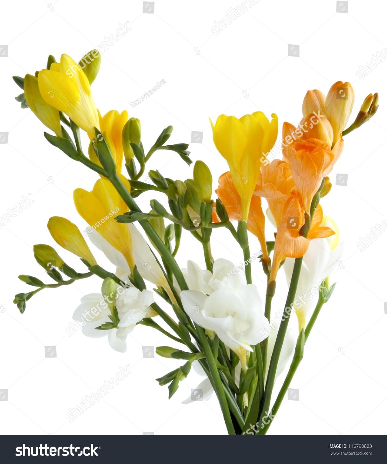 Yellow White Aromatic Fresias Stock Photo Edit Now 116790823