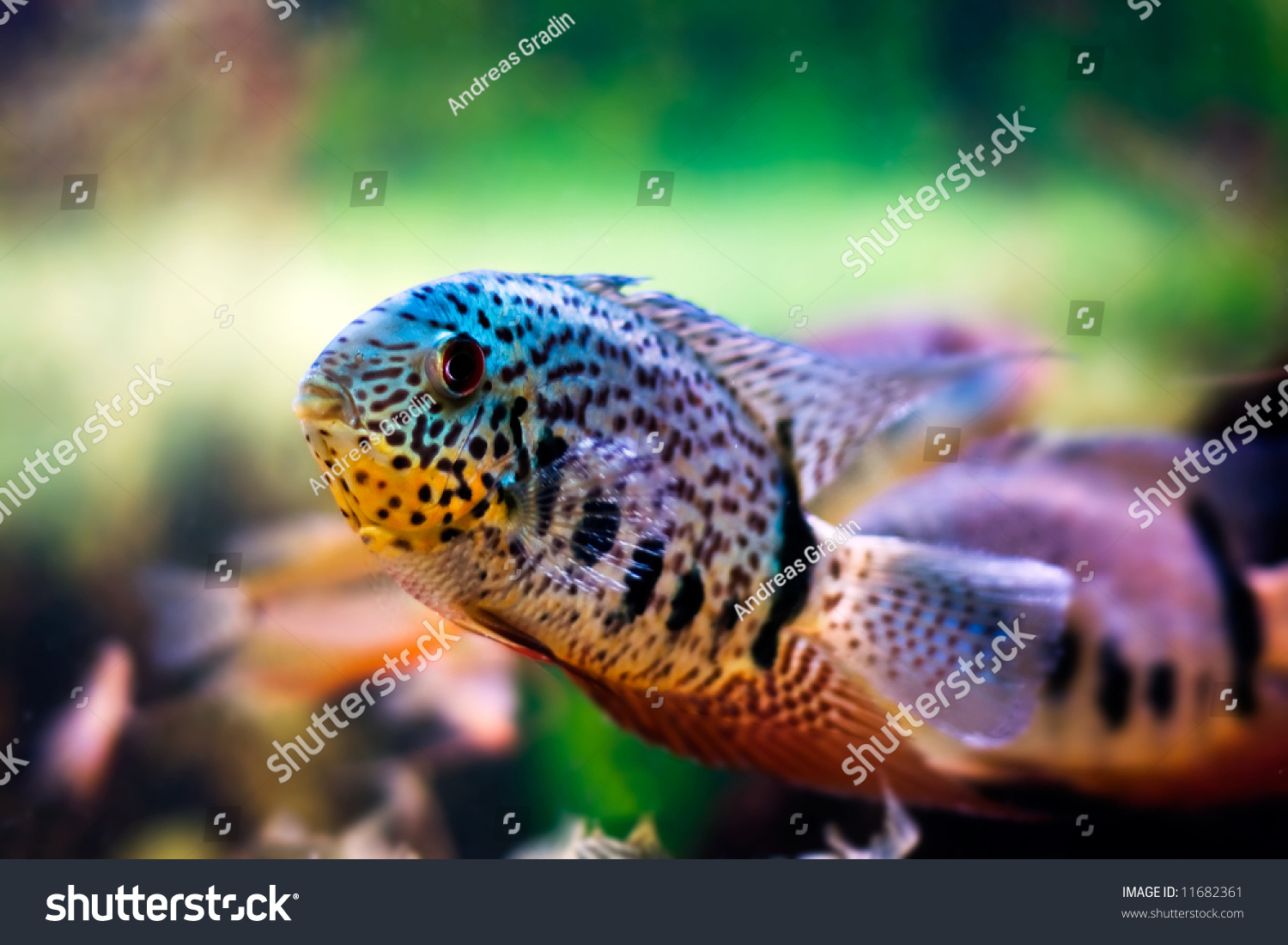 tropical fish swimming around in a fish tank