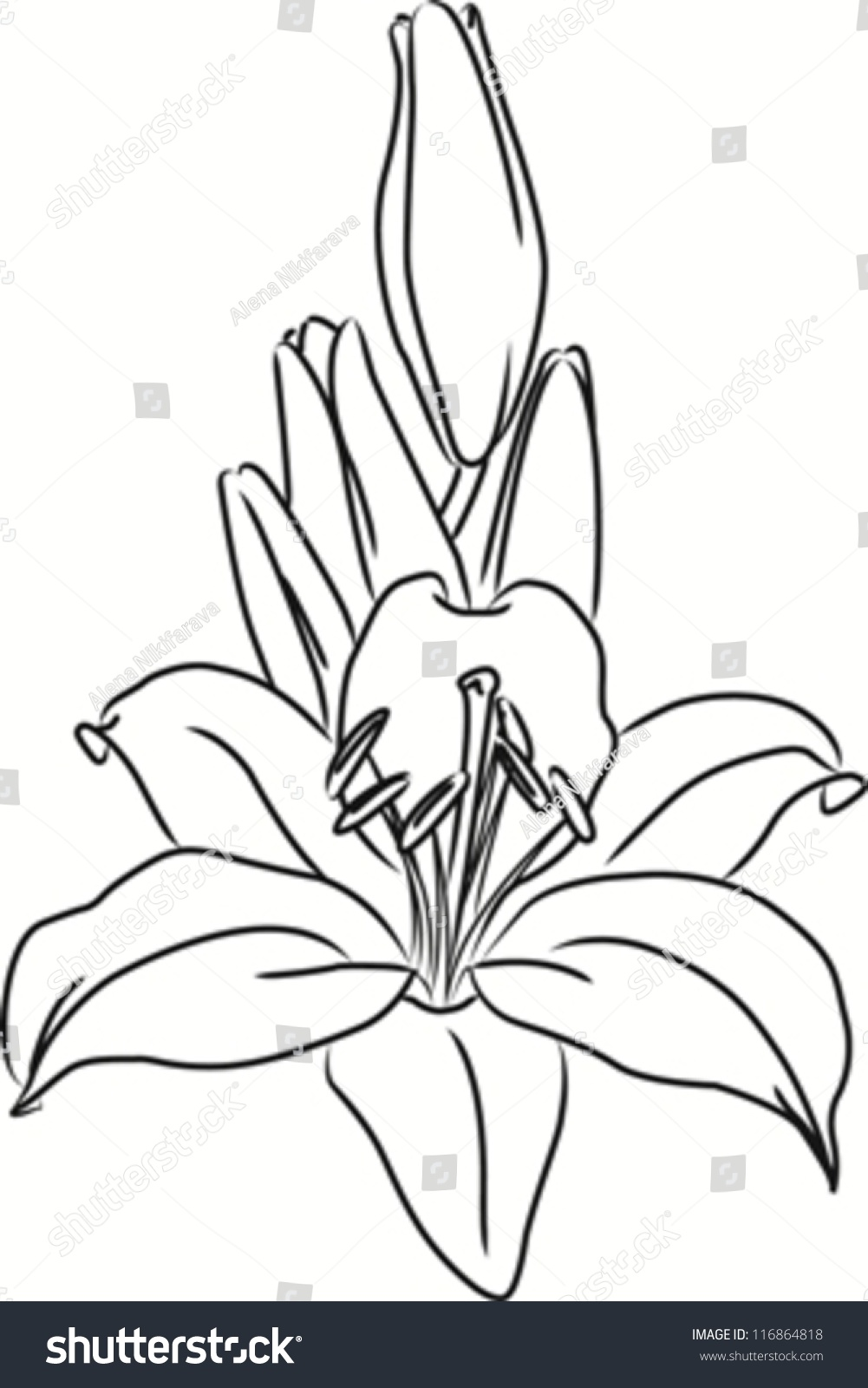 Lily Flower Bouquet Buds Vector Outline Stock Vector Royalty Free