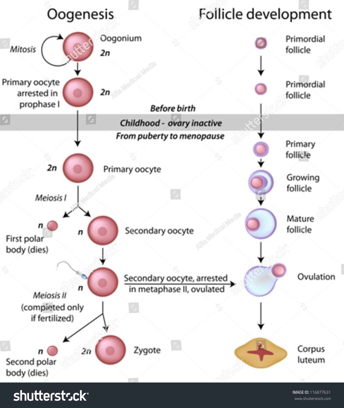 Spermatogenesis and ovogenesis are the processes of formation and formation of germ cells 32