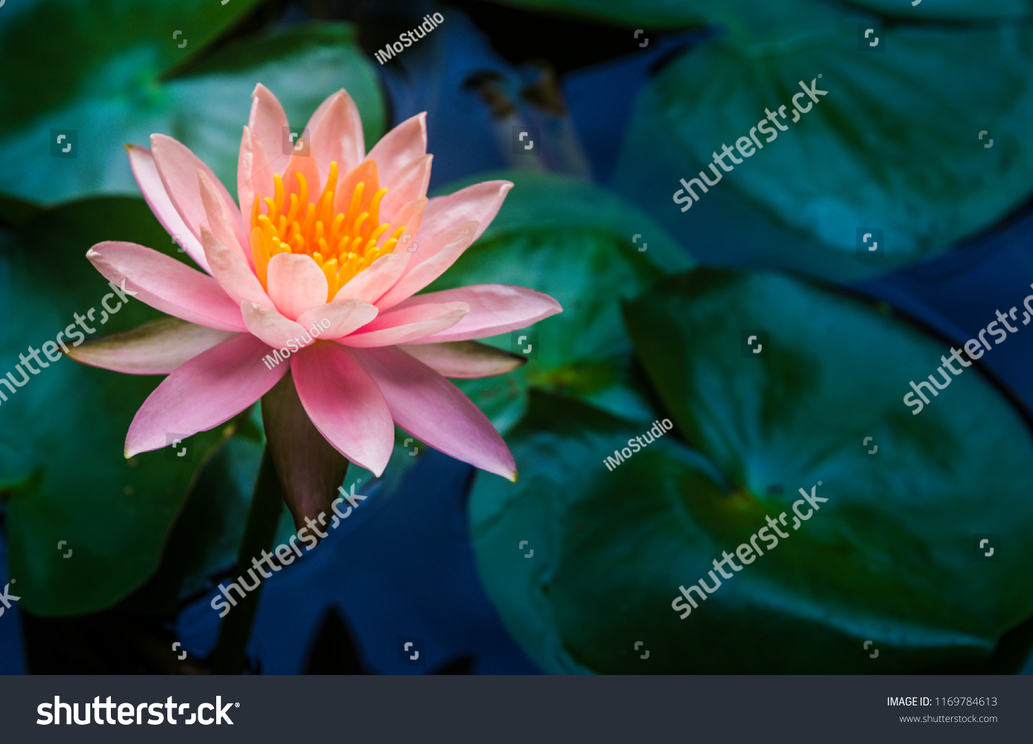 Beautiful lotus flower complimented by rich stock photo edit now a beautiful lotus flower is complimented by the rich colors of the deep blue water surface izmirmasajfo