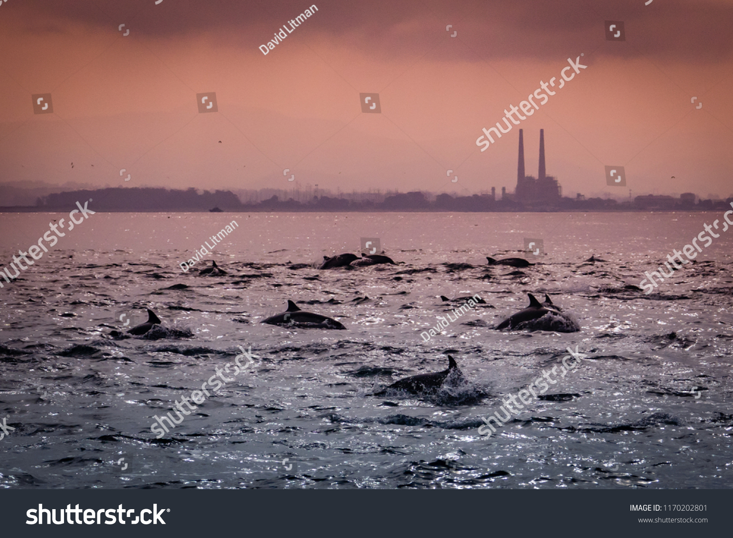 A large pod of Short Beaked Common Dolphins (Delphinus capensis) chases a school of anchovies in a feeding frenzy in the Monterey Bay of central California near Moss Landing.