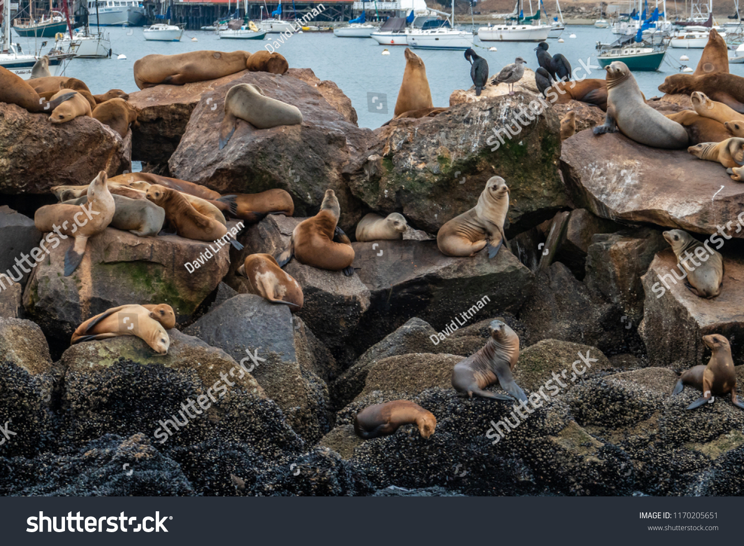 Sea Lions and Cormorants rest on the breakwater of the Monterey Harbor and Marina, on the Pacific Coast of central California on an overcast summer day.