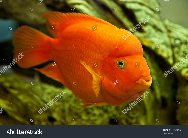 Tropical Freshwater Aquarium Big Red Fish Stock Photo & Image ...