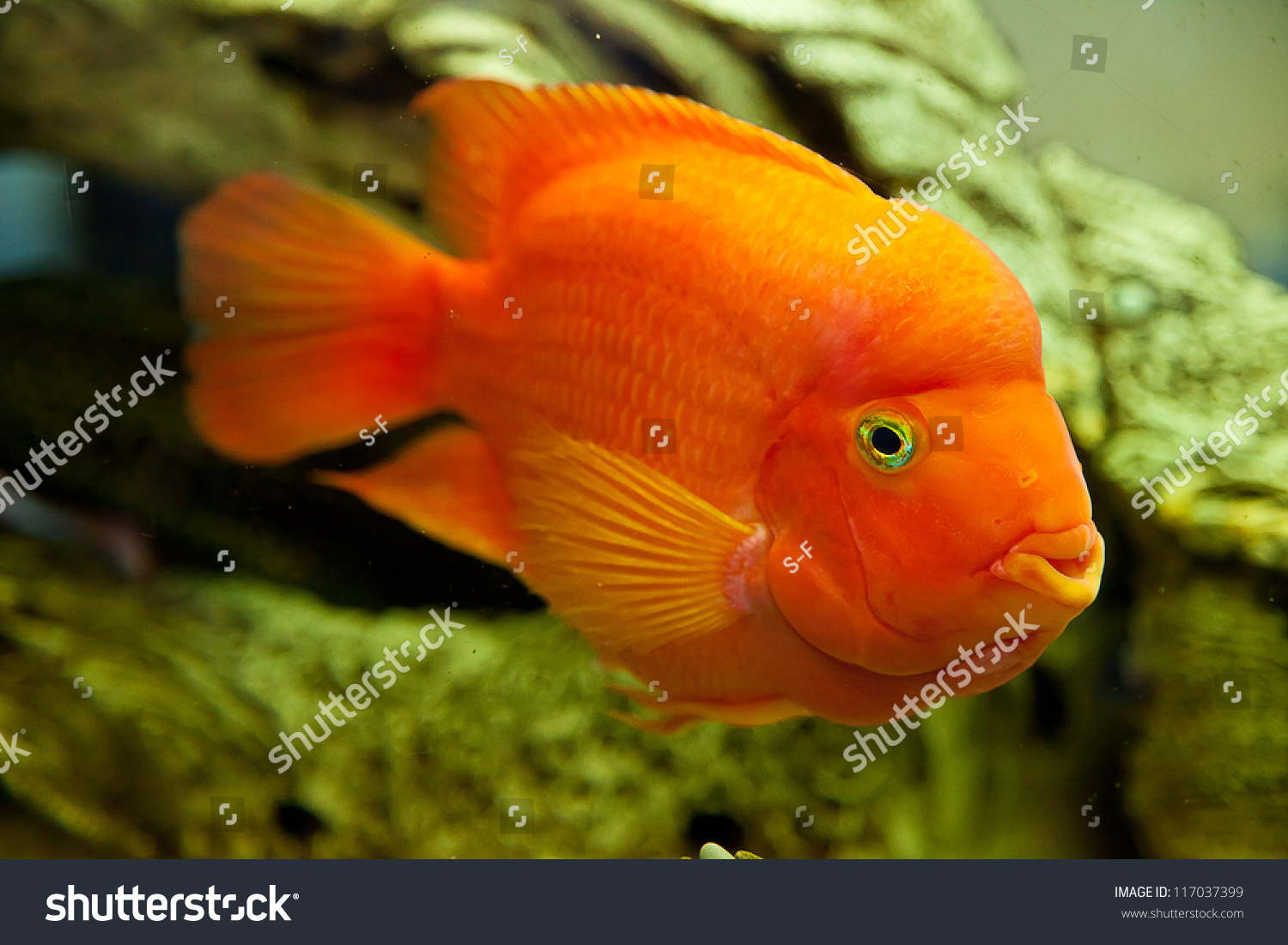Tropical Freshwater Aquarium Big Red Fish Stock Photo (Royalty Free ...