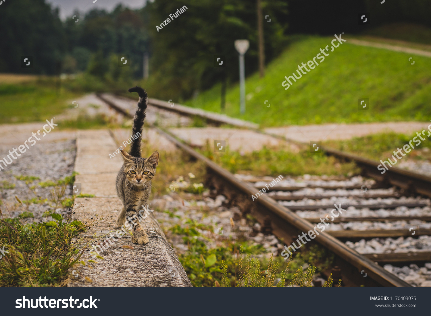 Cute Young Grey Striped Cat Walking Stock Photo (Edit Now