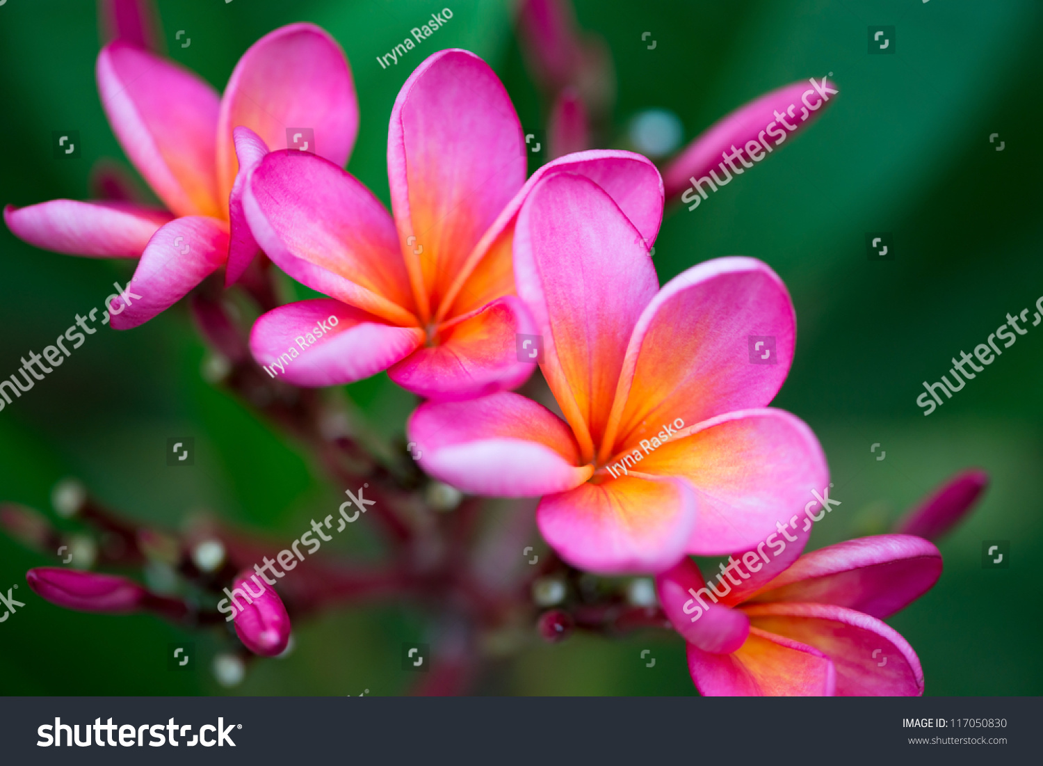 Branch tropical pink flowers frangipani plumeria stock photo branch of tropical pink flowers frangipani plumeria on dark green leaves background dhlflorist Gallery