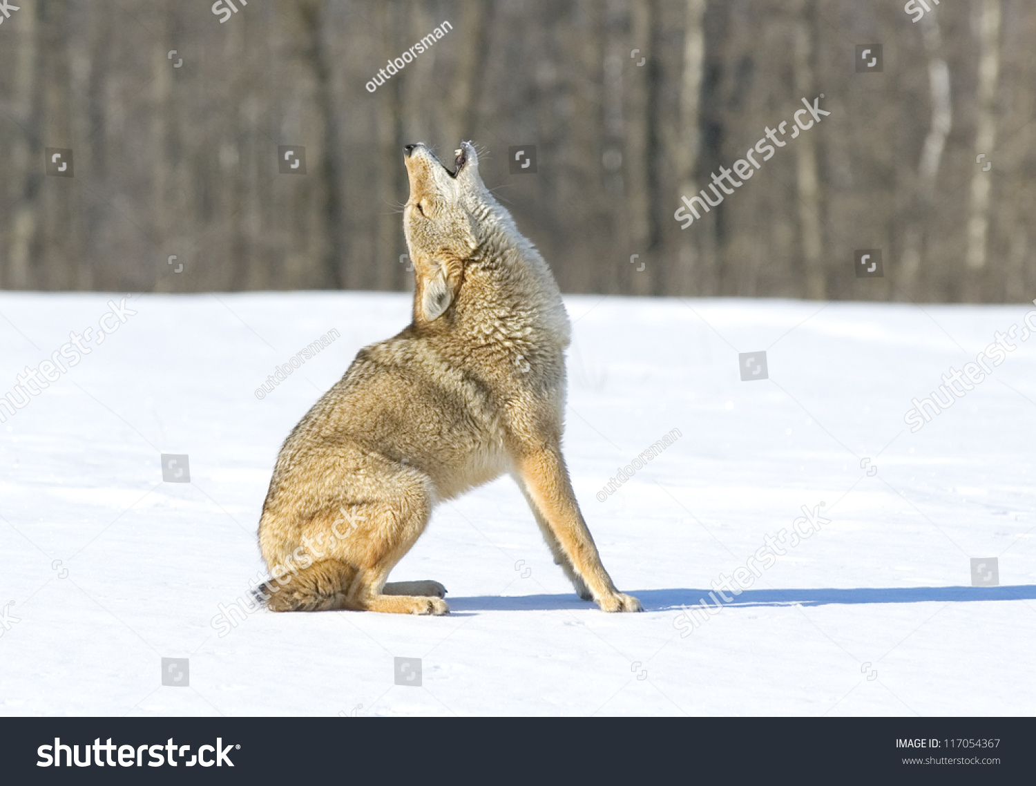 Image result for image of a coyote howling